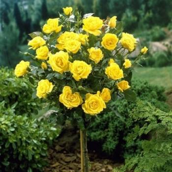Trandafir pomisor, cu flori de culoare galben, Golden Delight, Famous Roses