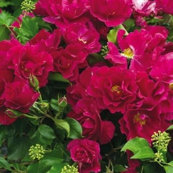 Trandafir cu flori grupate, de culoare roz-fucsia, Guy Savoy, Delbard