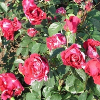 Trandafir cu flori mari, de culoare rosu, roz si alb, Henri Matisse, Delbard #2