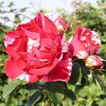 Trandafir cu flori mari, de culoare rosu, roz si alb, Henri Matisse, Delbard #3