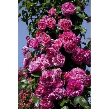 Trandafir urcator, cu flori de culoare rosu cu alb si crem, Ines Sastre, Meilland