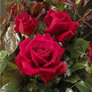 Trandafir cu flori mari, de culoare rosu intens, Isabella Rossellini, Poulsen