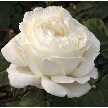 Trandafir cu flori mari, de culoare alb-azuriu, Jeanne Moreau, Meilland #2