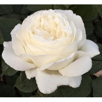 Trandafir cu flori mari, de culoare alb-azuriu, Jeanne Moreau, Meilland