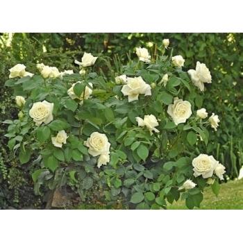 Trandafir pomisor, cu flori de culoare alb-azuriu, Jeanne Moreau, Meilland