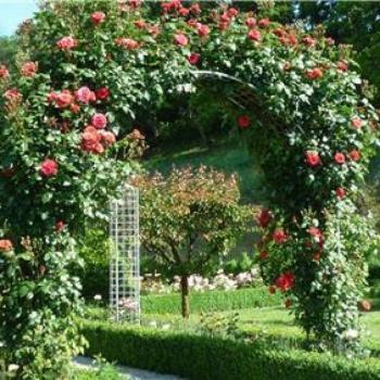 Trandafir urcator, cu flori de culoare rosie, Jive, Poulsen