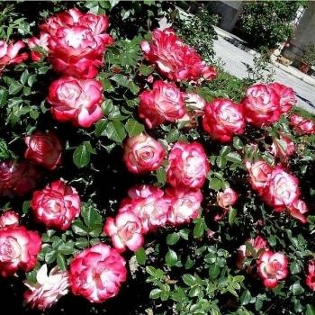 Trandafir cu flori grupate, de culoare alb cu rosu, Jubile du Prince de Monaco, Meilland #2