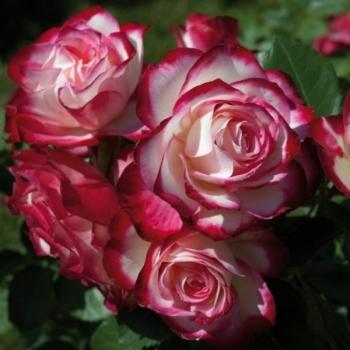 Trandafir cu flori grupate, de culoare alb cu rosu, Jubile du Prince de Monaco, Meilland #3