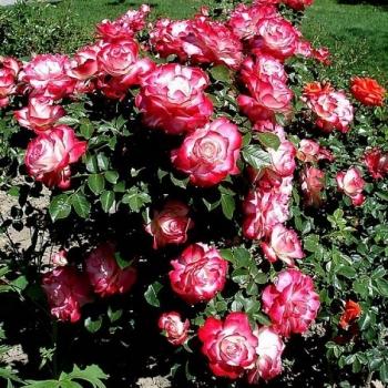 Trandafir cu flori grupate, de culoare alb cu rosu, Jubile du Prince de Monaco, Meilland