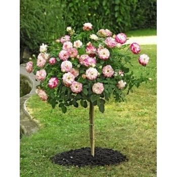 Trandafir pomisor, cu flori de culoare alb cu rosu, Jubile du Prince de Monaco, Meilland