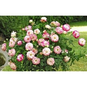 Trandafir pomisor, cu flori de culoare alb cu rosu, Jubile du Prince de Monaco, Meilland #2