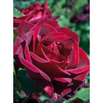 Trandafir cu flori mari, de culoare rosu intens, Jubile Papa Meilland, Meilland #3