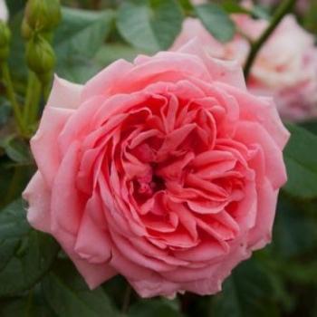 Trandafir pomisor, cu flori de culoare roz-somon, Kimono, Famous Roses #2