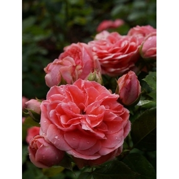 Trandafir pomisor, cu flori de culoare roz-somon, Kimono, Famous Roses #3