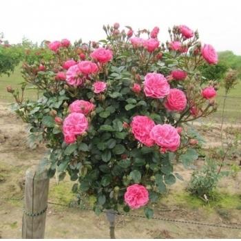 Trandafir pomisor, cu flori de culoare roz-somon, Kimono, Famous Roses