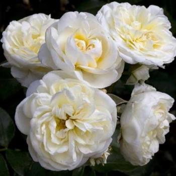Trandafir cu flori grupate, de culoare alb-crem, Lady Romantica, Meilland