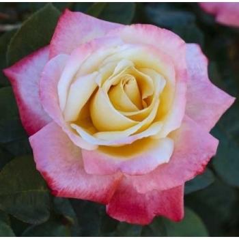 Trandafir cu flori mari, de culoare alb-roz-rosu, Laetitia Casta, Meilland #2