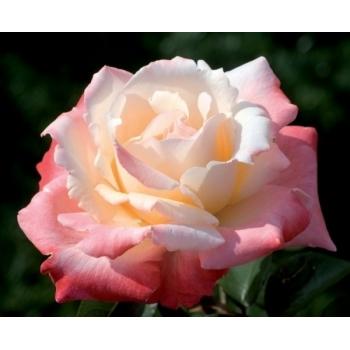 Trandafir cu flori mari, de culoare alb-roz-rosu, Laetitia Casta, Meilland #3