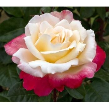 Trandafir cu flori mari, de culoare alb-roz-rosu, Laetitia Casta, Meilland
