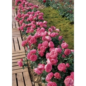 Trandafir cu flori grupate, de culoare roz, Leonardo Da Vinci, Meilland #2