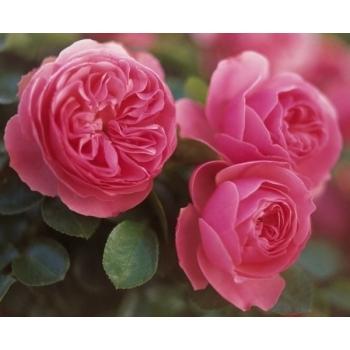 Trandafir cu flori grupate, de culoare roz, Leonardo Da Vinci, Meilland #3