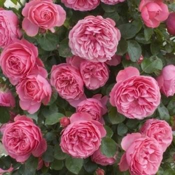 Trandafir cu flori grupate, de culoare roz, Leonardo Da Vinci, Meilland