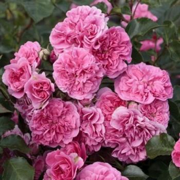 Trandafir peisaj, cu flori roz, Les Quatre Saisons,  Meilland #2