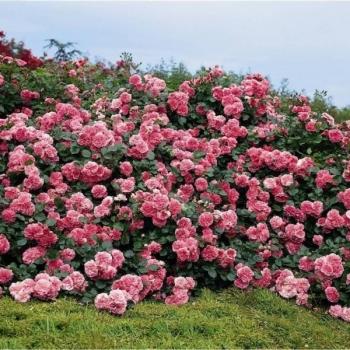 Trandafir peisaj, cu flori roz, Les Quatre Saisons,  Meilland