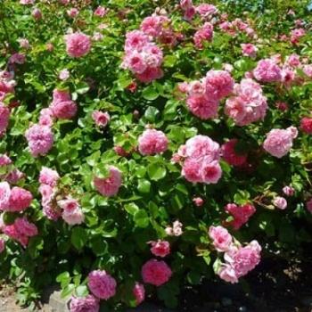 Trandafir peisaj, cu flori roz, Les Quatre Saisons,  Meilland #3