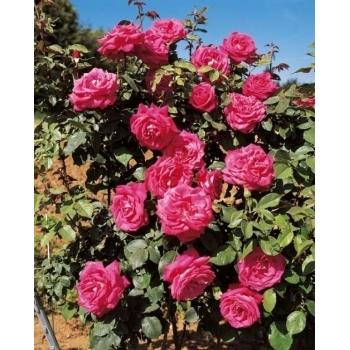 Trandafir urcator, cu flori de culoare roz magenta, Lolita Lempicka, Meilland