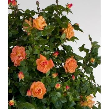 Trandafir urcator, cu flori de culoare portocaliu, Louis de Funes, Meilland #2