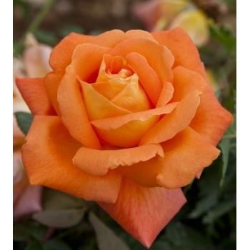 Trandafir urcator, cu flori de culoare portocaliu, Louis de Funes, Meilland #3