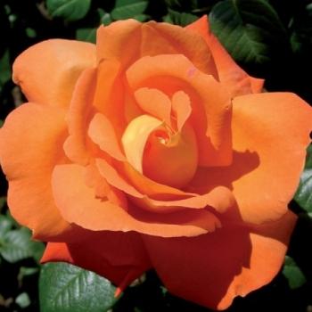 Trandafir urcator, cu flori de culoare portocaliu, Louis de Funes, Meilland