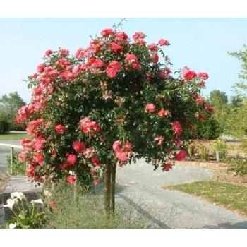 Trandafir pomisor,  cu flori de culoare roz magenta, Magic Meillandecor, Meilland