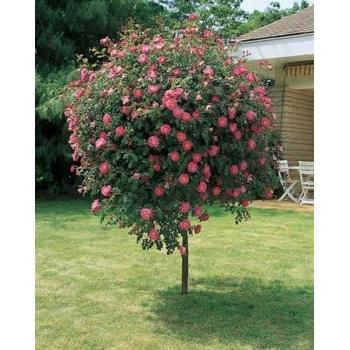 Trandafir pomisor,  cu flori de culoare roz magenta, Magic Meillandecor, Meilland #3