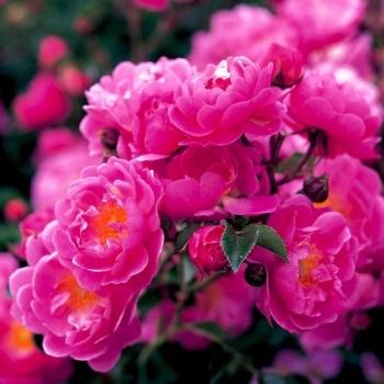 Trandafir pomisor,  cu flori de culoare roz magenta, Magic Meillandecor, Meilland #2