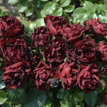 Trandafir cu flori mari, de culoare rosu sangvin, Malicorne, Delbard