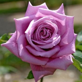 Trandafir cu flori mari, de culoare roz purpuriu, Mamy Blue, Delbard #2