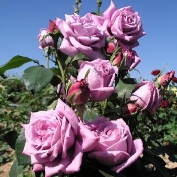 Trandafir cu flori mari, de culoare roz purpuriu, Mamy Blue, Delbard