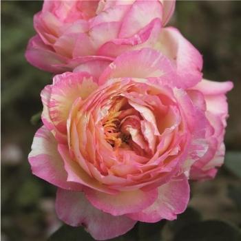 Trandafir cu flori mari, de culoare roz cu galben,  Marc Chagall, Delbard #2