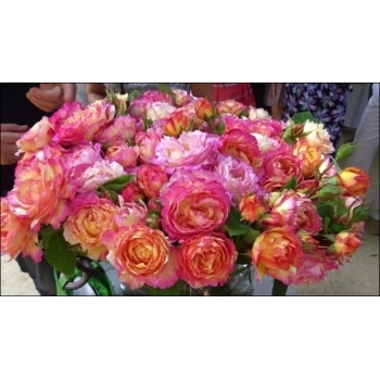 Trandafir cu flori mari, de culoare roz cu galben,  Marc Chagall, Delbard
