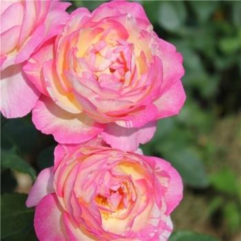 Trandafir cu flori mari, de culoare roz cu galben,  Marc Chagall, Delbard #3