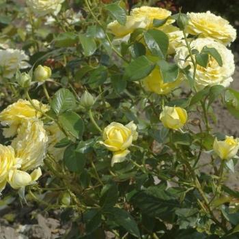 Trandafir cu flori mari, de culoare galben, Marselisborg, Poulsen #2