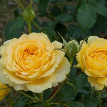 Trandafir cu flori mari, de culoare galben, Marselisborg, Poulsen #3