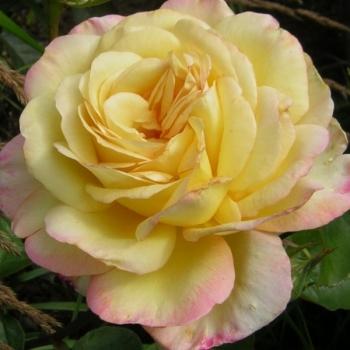 Trandafir cu flori mari, de culoare galben cu alb si roz, Mitsouko, Delbard #2