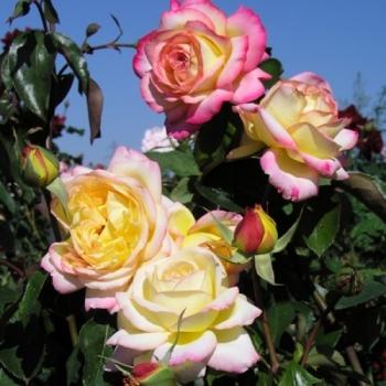 Trandafir cu flori mari, de culoare galben cu alb si roz, Mitsouko, Delbard