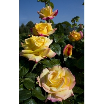 Trandafir urcator, cu flori mari, galbene, Mme A. Meilland, Meilland