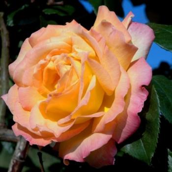 Trandafir urcator, cu flori mari, galbene, Mme A. Meilland, Meilland #2