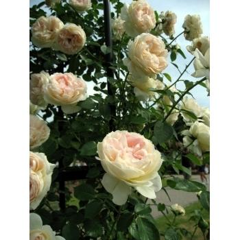 Trandafir urcator, cu flori de culoare alb, Mon Jardin et Ma Maison,  Meilland #2