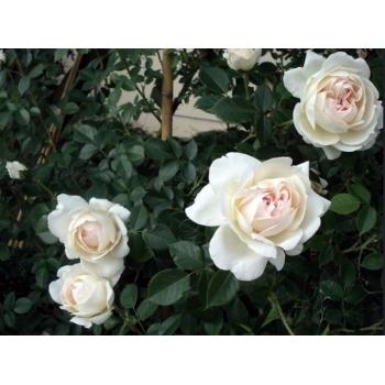 Trandafir urcator, cu flori de culoare alb, Mon Jardin et Ma Maison,  Meilland #3